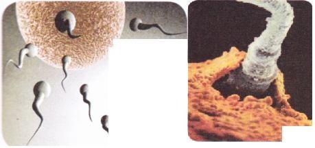 Üreme Hücrelerinin Birleşmesi