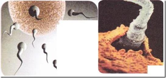 üreme hücrelerinin birleşmesi döllenme