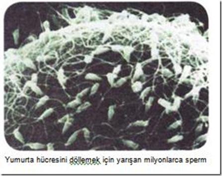 yumurta hücresini döllemek için yarışan spermler