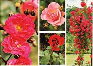 Çeşitli Güller