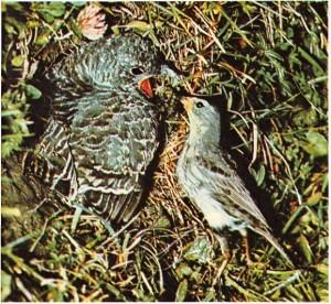 Kendisinden Daha küçük olan yetişkin bir ötücü kuş tarafından beslenen guguk kuşu