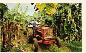 Guadeloupe'ta muz tarım işletmelerinden bir görünüş