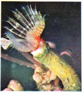 5-7 cm uzunluğunda bir halkalısolucan