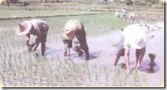 çeltik tarımı