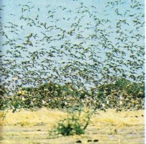 Çat gölünün güneyinde, gri bir bulut halinde uçan dövüşken kuşlar.