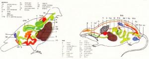 güvercin ve fare anatomisi