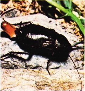 Dişi Hamamböceği yumurtalarını yumurta zarfı içinde karın bölgesinde saklar