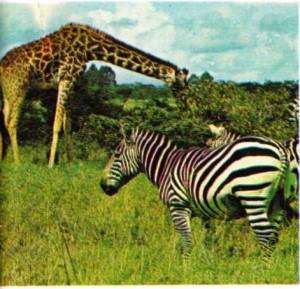 Kenya'da ulusal parkta zürefa ve zebralar