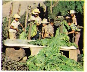Honduras'ın Guatemala sınırındaki Copan idare bölgesinde tütün yapraklarının kurutulmadan önce ipe dizilmesi