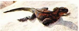 Galapagos kara iguanası (Conolophus subcristatus)