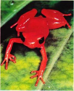 Madagaskar'ın kırmızı kurbağası