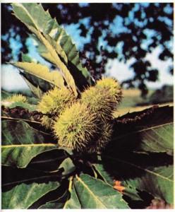 Kestane ağacının (Castanea sativa) meyvesi