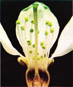 Çok sayıda erkek organı olan kiraz ağacı çiçeğinin kesiti