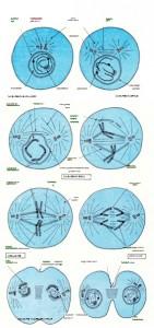 Hücrenin mitoz bölünmesinin dört evresi