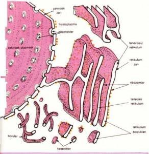 Endoplazmik retikulumun çeşitli görünümleri