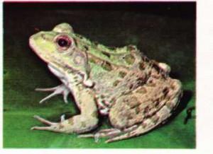 Bir nilüfer yaprağı üstünde yeşil su kurbağası