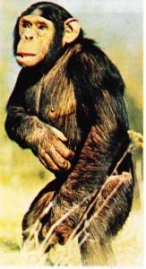 Şempanze (Pan troglodytes), biçimi ve ruhsal gelişmesi bakımından insanın en yakın akrabası olan bir insansımaymun sayılır.