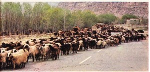 Şiraz ve Ahvaz arasında sürdürülen göçebe hayvancılık