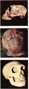 Yukardan aşağıya: Mesopithecus; Sinanthropus; Cebelitarık insanı (Neandertal).