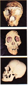 Homo cinsinin günümüzde bir tek türü vardır: Homo sapiens. Yukardan aşağıya Saccopastore Neandertal insanı; Australopithecus; modern Homo sapiens.