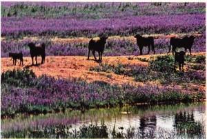 Sevilla yakınlarında Urguijo 'da yetiştirilen boğalar