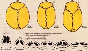kafatası ve burun tipleri