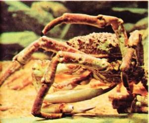 deniz örümceği maia