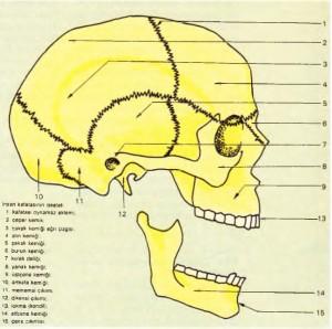 insan kafatasının iskeleti