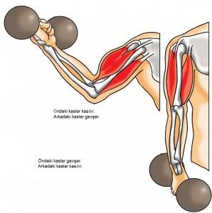 kol kaslarının gevşemesi ve kasılması