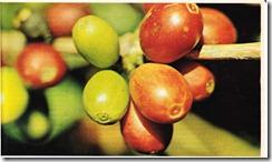 bir kahve ağacı meyvesi Brezilya