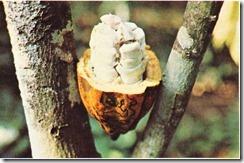 kakao ağacının meyveleri