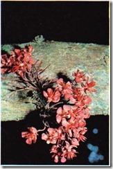 kako çiçeği