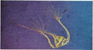 Akdeniz planktonu Ceratium ranipes