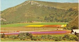 Kaliforniya'da çiçek yetiştirme alanı
