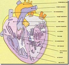 kalp bölümleri