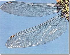 uçböceği kanatları