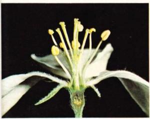 Bir elma çiçeğinin üreme organı