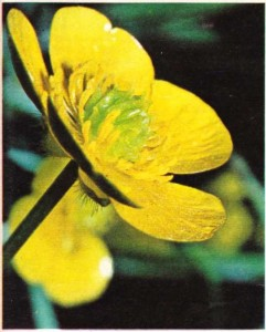 Kapalı tohumlulardan düğün çiçeği