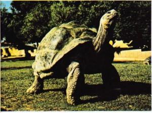 jalapagos adalarında yaşayan kaplumbağa.