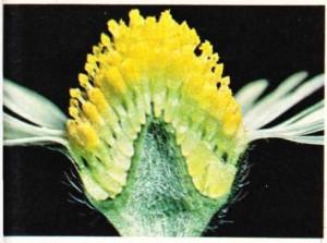 papatyanın çiçek durumunun kesiti