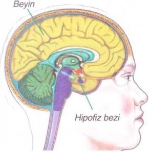 Beyinde hipofiz bezinin bulunduğu yer