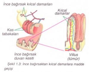 ince bağırsak kılcal damarları