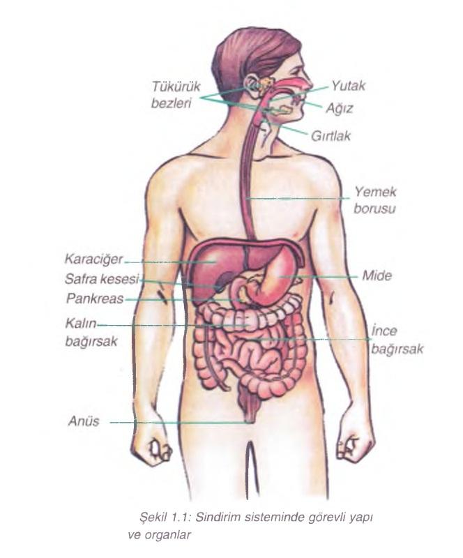 sindirim sisteminde görevli yapı ve Organlar