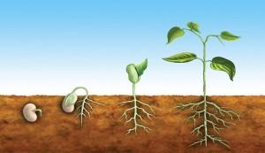 fasulye büyüme aşamaları