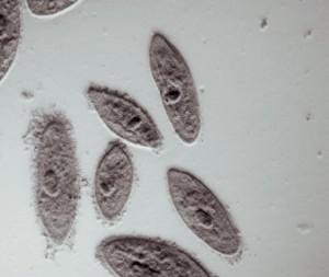 mikroskobik canlı