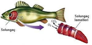 balıkların oksijen alması