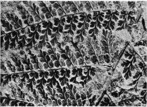 Fosilleşmiş eğreltiotu yapraklarının izi.