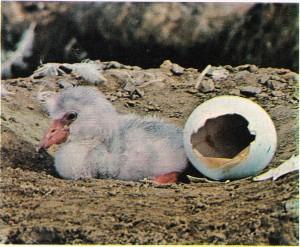 Yumurtadan yeni çıkmış bir flaman kuşu.