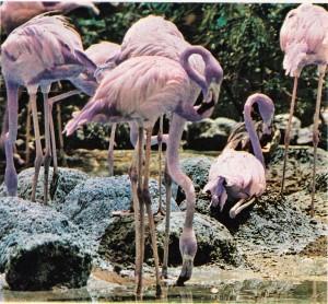 Pembe renkli flaman kuşları