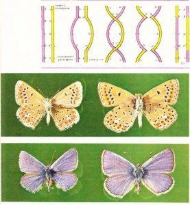 İki ikiz kelebek cinsi: Lysandra thersites ve Lysandra escheri. Resimde dişiler karm. erkekler sırtlarından görülmektedir. Çıplak gözle ayırt edilmesi olanaksız olan bu iki cins, yalnız cinsel organları büyüteçle incelenerek ayrılır.